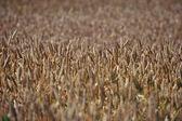 Wheat field — Foto Stock