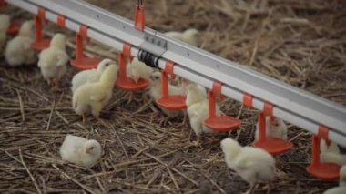 Broiler Chickens at the feeder — Stock Video