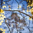 Bright yellow autumn leafs and blue sky background — Stock Photo #56693875