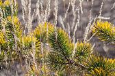 Pine needles closeup nature background — Stock Photo