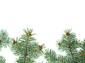 Pine branches isolated christmas background — Stock Photo