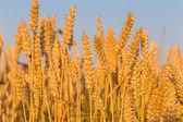 麦畑と青空 — ストック写真