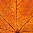 Close up of colorful autumnal maple leaf — Foto de Stock   #55437415