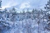 Forest Covered by Snow in Winter Landscape — Stockfoto