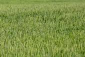 Green wheat field — Foto de Stock