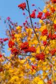 Rowan in autumn — Stock Photo