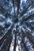 Forest fallenden Schnee in Winterlandschaft — Stockfoto