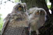 Two owls on the tree — Stock Photo