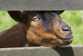 Ram's head, an animal farm — Stock Photo