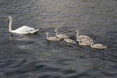 Labutě na vodě — Stock fotografie