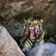 Siberian tiger — Stock Photo #53069257
