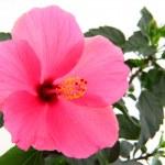 Rose mallow closeup — Stock Photo #53069575