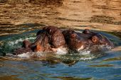 Hippo kiss — Stock Photo