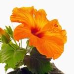Rose mallow closeup — Stock Photo #67849705
