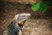 Cuban rock iguana — Stock Photo