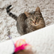 Tabby cat looking at a feather toy — Stock Photo #74132753