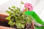 Transplant of geranium — Stock Photo