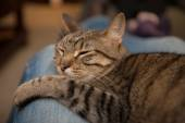 Cat lounges on blue jean lap — Stockfoto