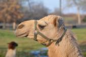Harnessed Camel Head — Stock Photo