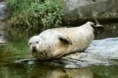 Deniz aslan — Stok fotoğraf