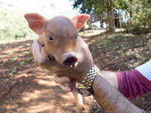 Portrait of a cute piglet. — Stok fotoğraf