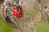 Dried Physalis lantern — Stock Photo