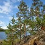 Pine tree on Ladoga lake shore — Zdjęcie stockowe #67294543