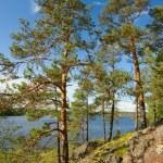 Pine tree on Ladoga lake shore — Zdjęcie stockowe #67294549