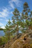 Pine tree on Ladoga lake shore — Stock Photo