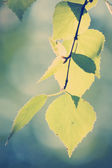 Birch branch with Instagram style filter — Stockfoto
