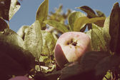 Apple harvest with Instagram style filter — Стоковое фото