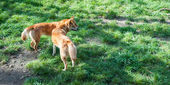 Wild dingos, Australia — Stock Photo