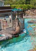 Feeding of California sea lion in Ueno Zoo, Tokyo — Stock Photo