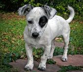 杰克罗素梗犬混合 — 图库照片