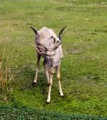Beautiful Gazelle with large horns — Stock Photo