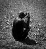 Silhouette of a chimpanzee — Stock Photo