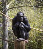 Chimpanzee on a perch — Stock Photo