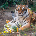 Siberian tiger — Stock Photo #56291629