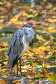 Grey heron in autumn leaves — 图库照片