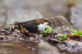 White-throated dipper — Stock Photo