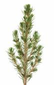 Picea — Stock Photo