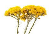 Helychrysum — Foto de Stock