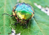 Rose chafer — Foto de Stock