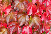 Natural Background of Red Ivy Parthenocissus Quinquefolia — Stock Photo