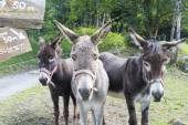 Mules for hire — Stock Photo
