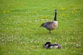 Geese in a field — Stock Photo