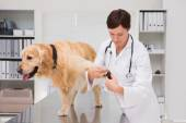 Vet using nail clipper on a labrador — Stock Photo