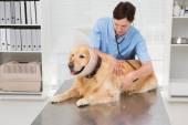 Veterinarian examining a cute dog — Stock Photo