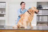 Ветеринар делать инъекции на милая собака — Стоковое фото
