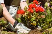 Woman planting a red flower — Stock Photo